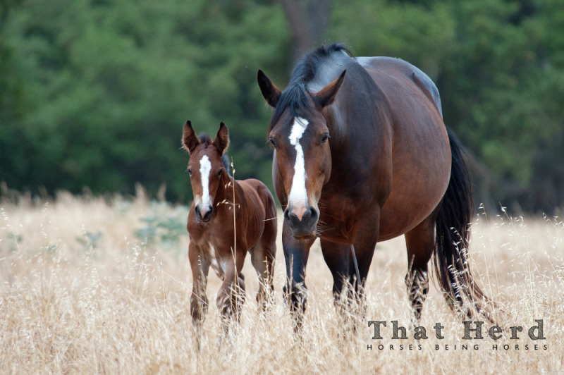 photography of a wild horse colt and mare in golden oats