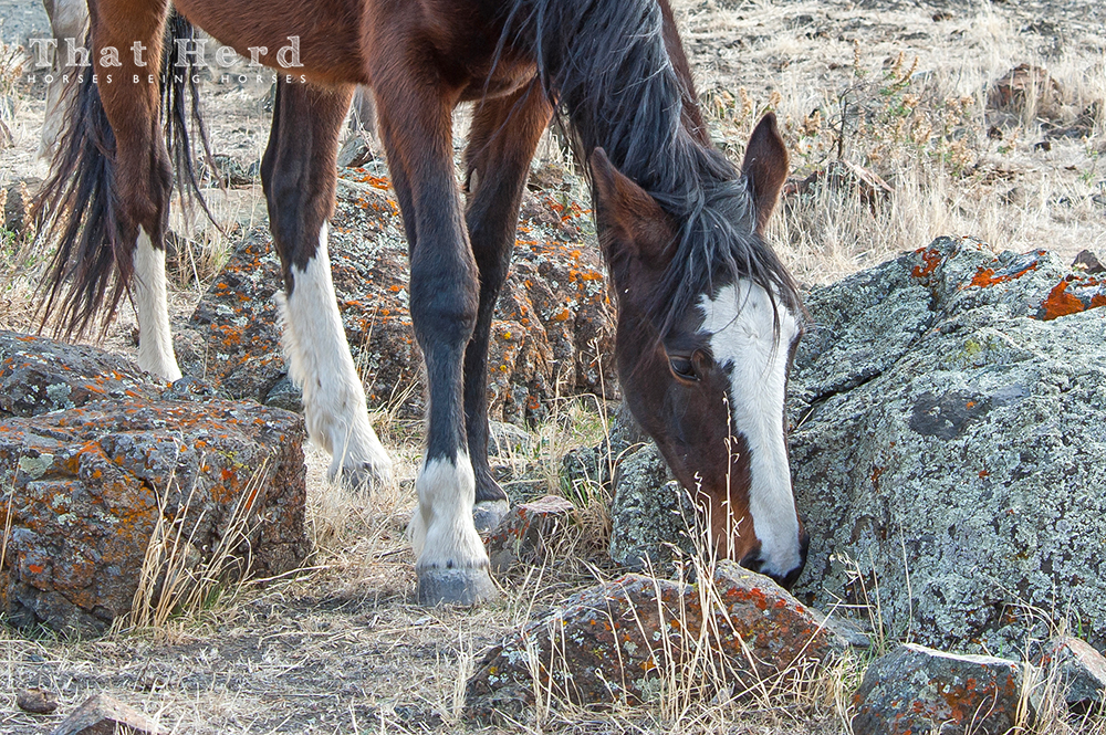 wild horse photography of a horse grazing between rocks