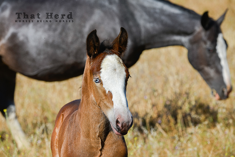 wild horse photography of a young foal with a blue eye