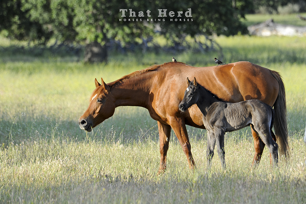 wild horse photography of a mare and new foal in grass