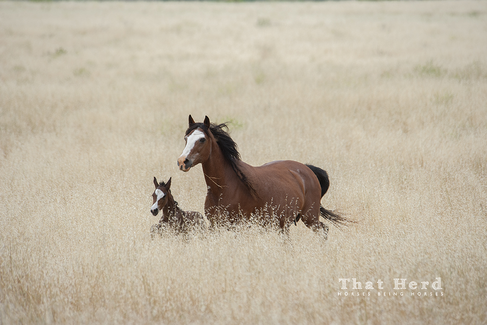 wild horse photography of mare and newborn in oat pasture