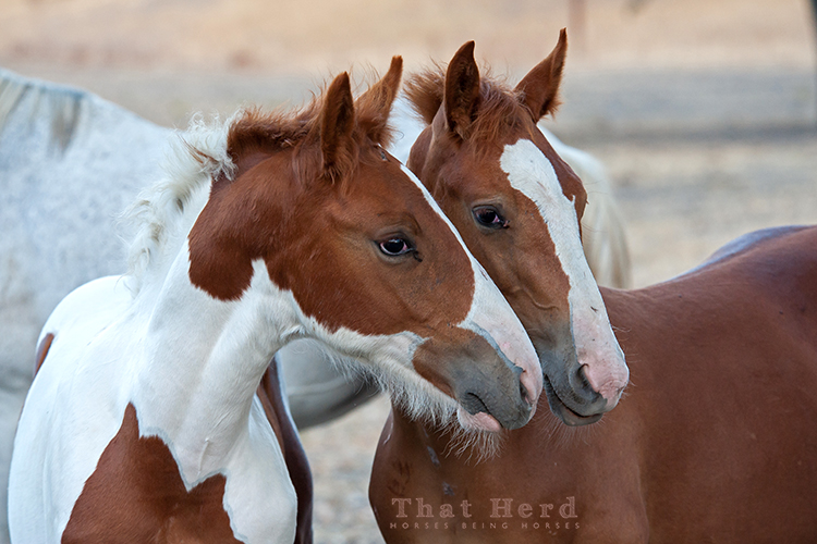 wild horse photography of two colts