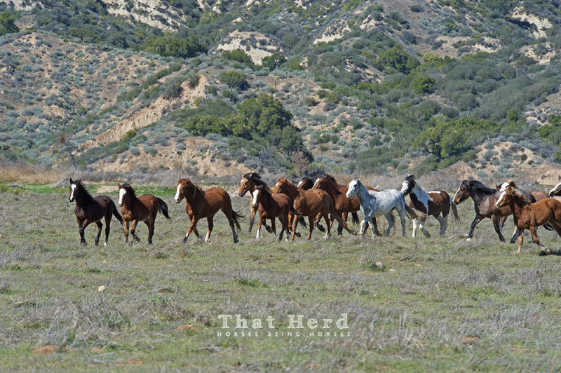 wild horse photography of a band of mixed-age horses run together