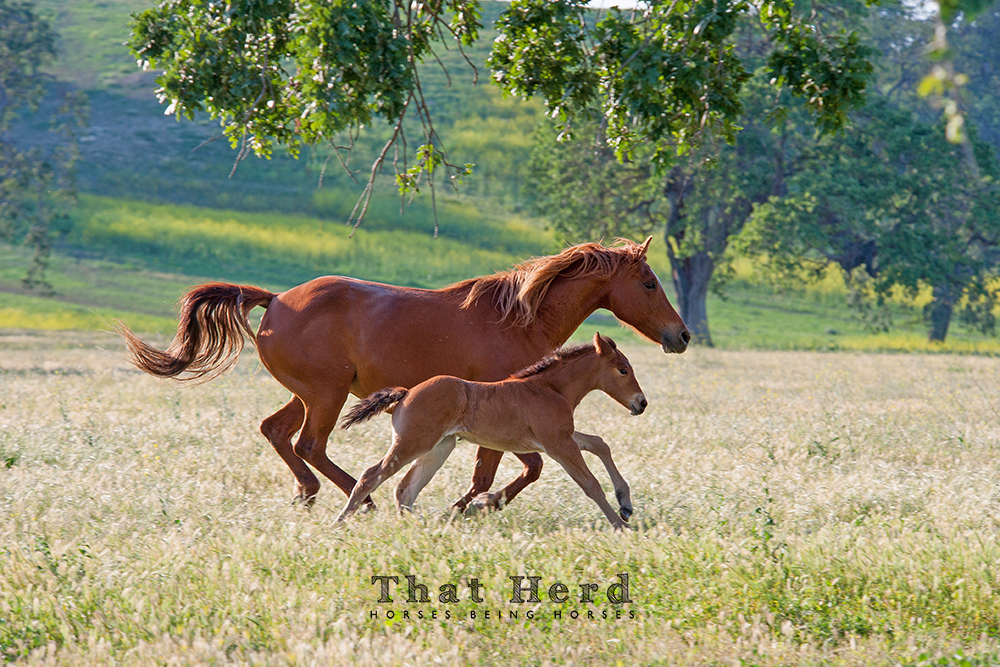 wild horse photography of a mare and new foal running in a meadow
