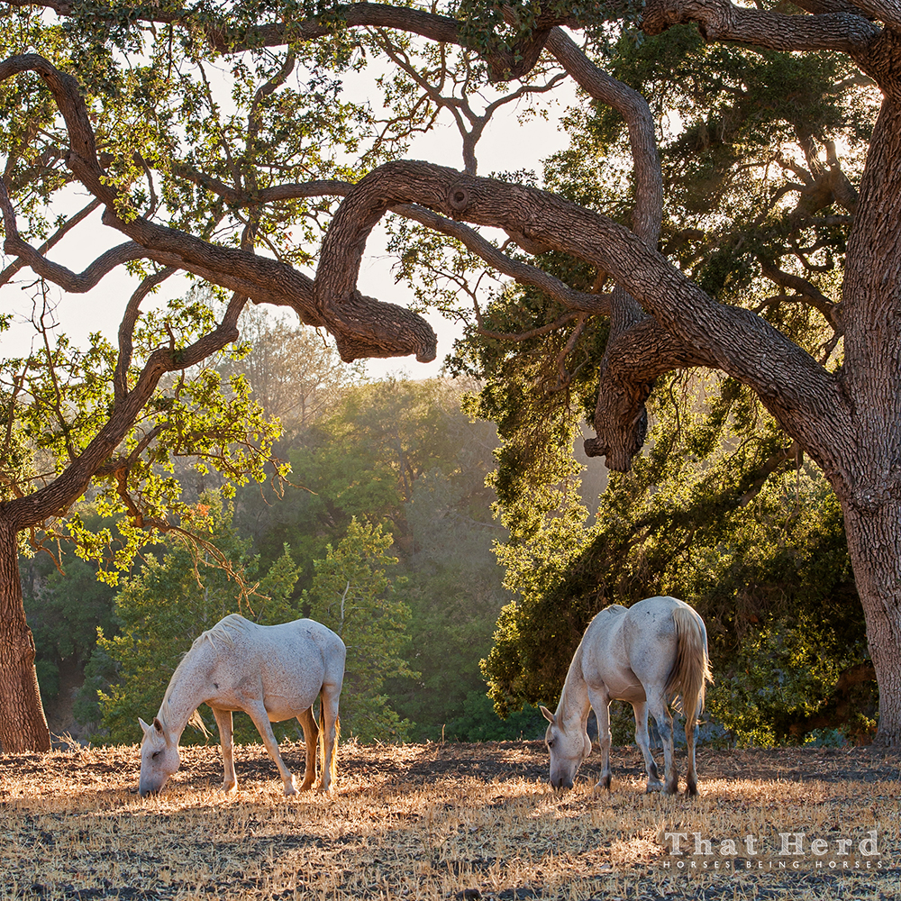 wild horse photography of mares under a giant oak tree
