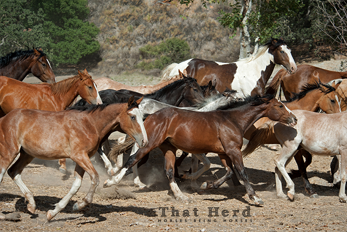 wild horse photography of several young horses running