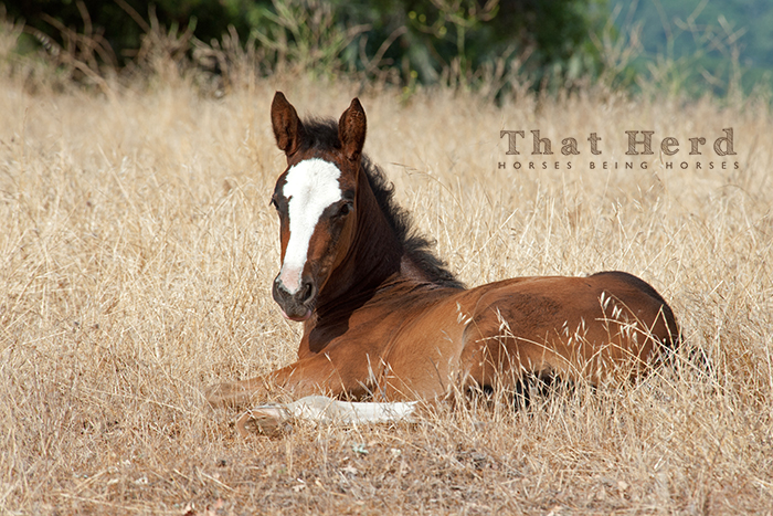 wild horse photography of a blaze faced foal lying down