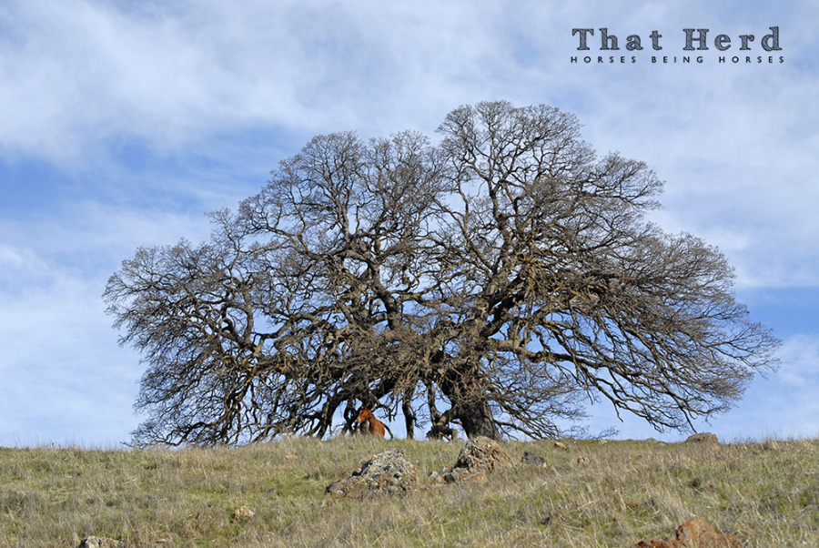 wild horse photography of a horse under a giant oak tree