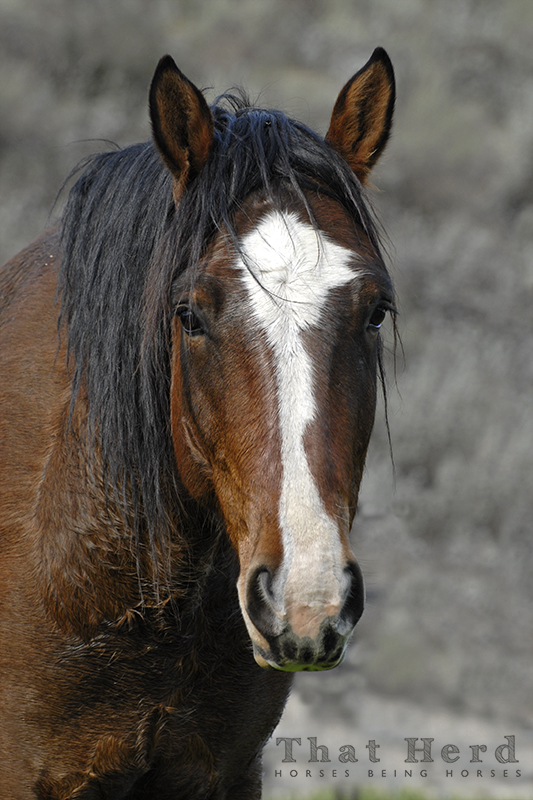 wild horse photography portrait of a bay horse with an expressive face