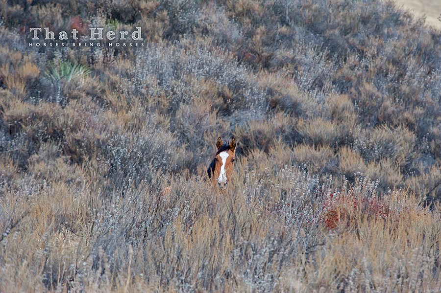 wild horse photography of a young horse hidden in sage brush