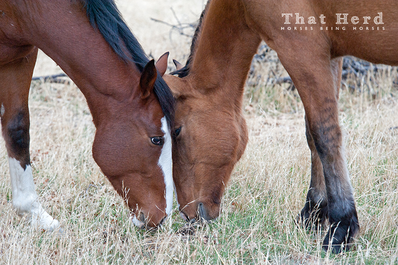 wild horse photography portrait of two young horses greeting on another