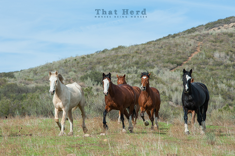 wild horse photography of several horses entering a landscape