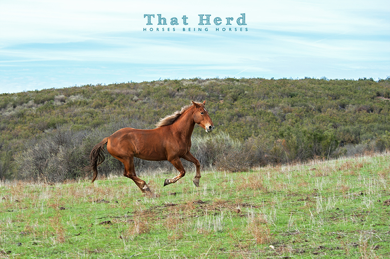 wild horse photography of a chestnut horse galloping across an open landscape