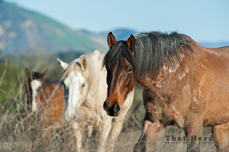 wild horse photography of a wary mare