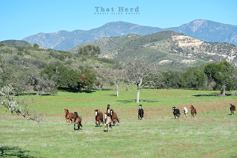 wild horse photography of several horses running through a mountain meadow