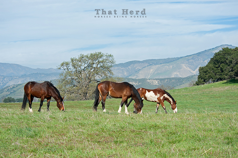 wild horse photography of three grazing horses with scenery