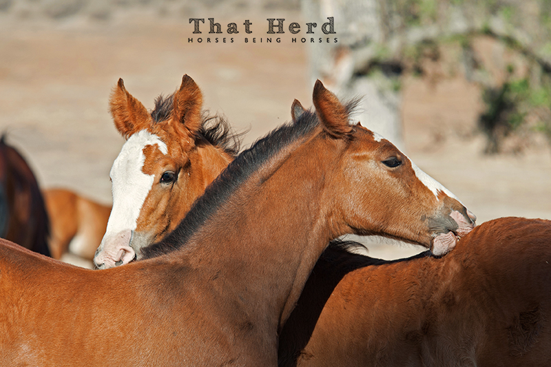 wild horse photography of two foals grooming each other