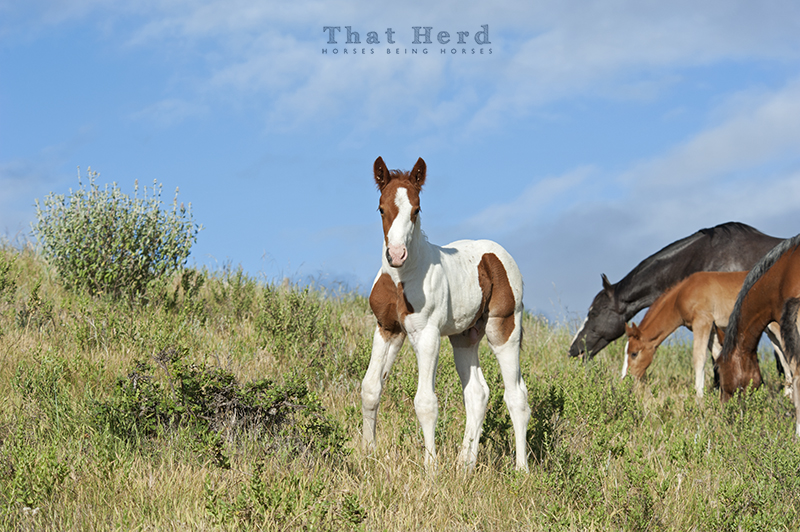 wild horse photography of a young paint foal