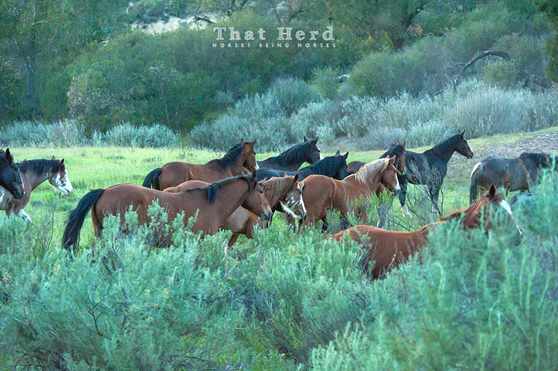 wild horse photography of young horses moving through springtime sagebrush