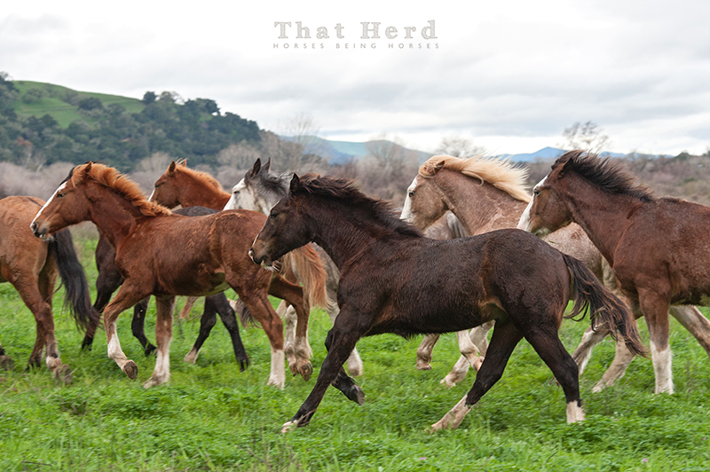 wild horse photography of weanlings and yearlings running in the rain
