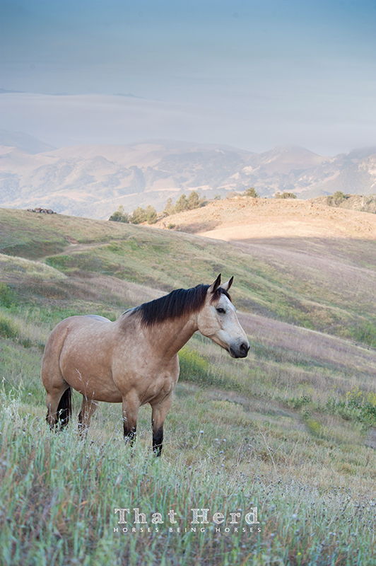 wild horse photography of a buckskin horse near a mountain top with scenery