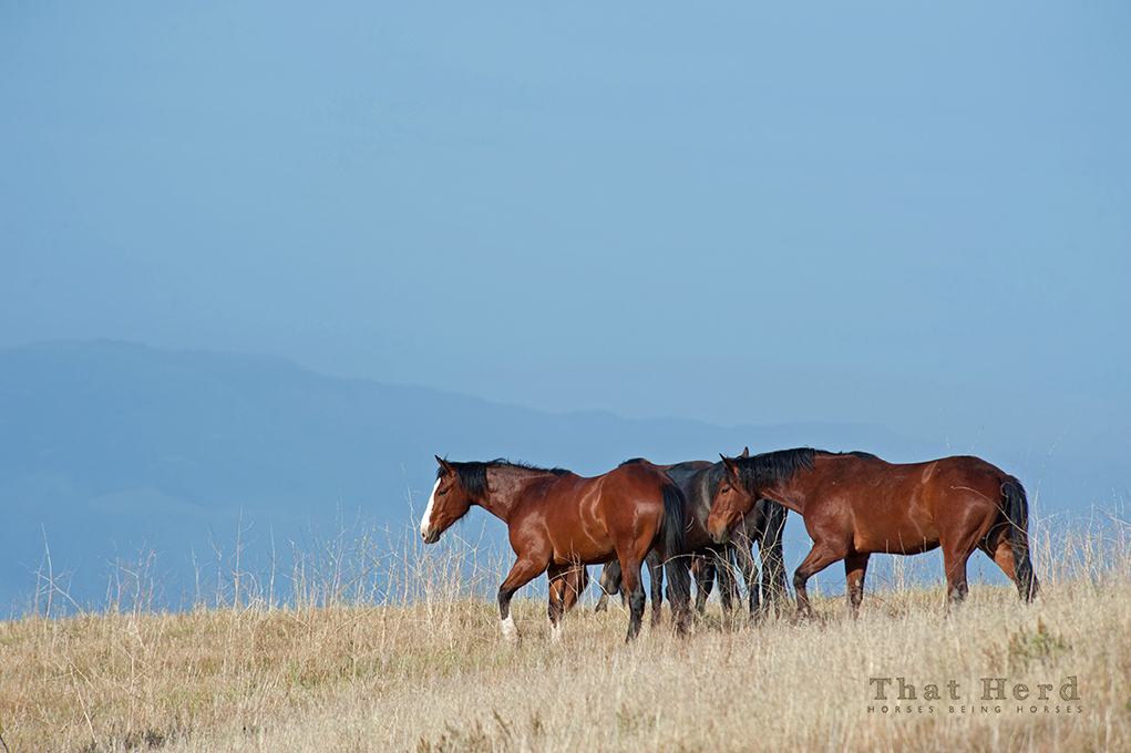 wild horse photography of mountain top grazers moving on