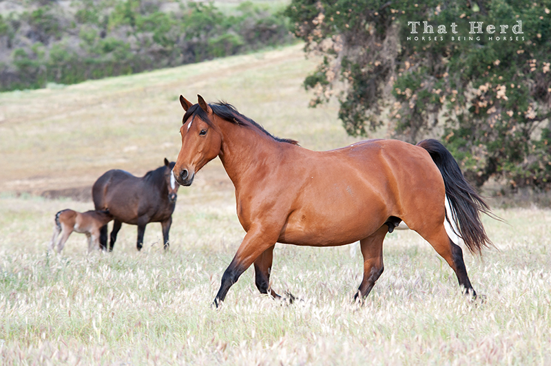 wild horse photography of a very pregnant, very lively mare