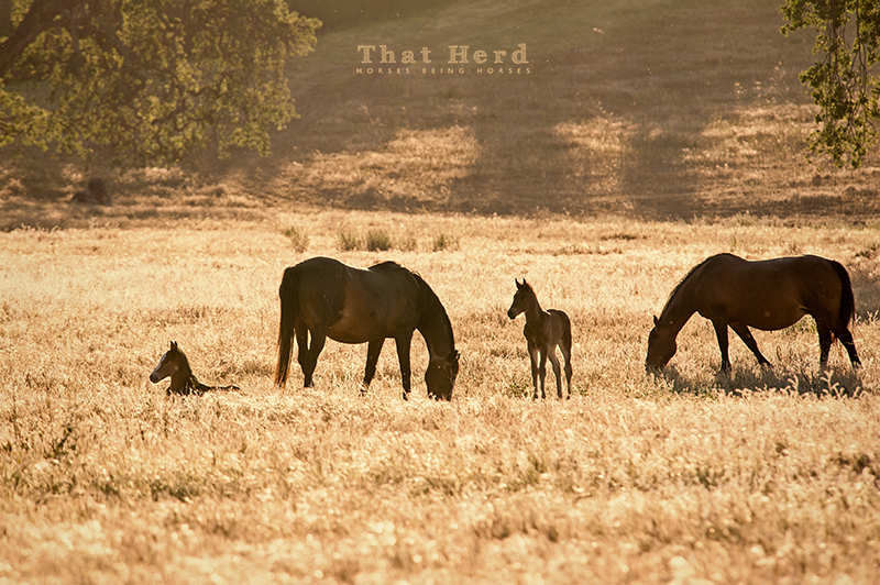 wild horse photography of mares and new foals in late afternoon light