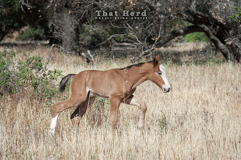wild horse photography of a newborn foal in a rare solo moment