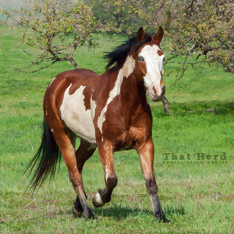 wild horse photography of a flashy paint