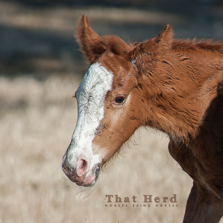 wild horse photography of an intrepid newborn colt