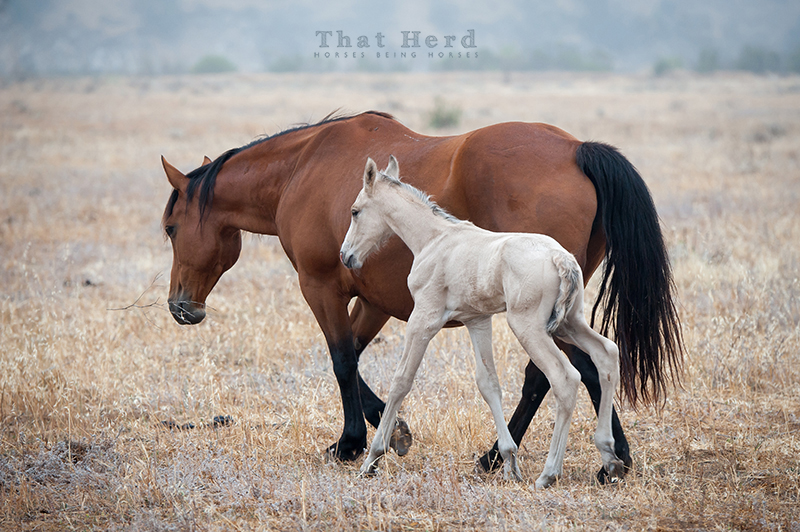 wild horse photography of a very large newborn foal and his amazing mother