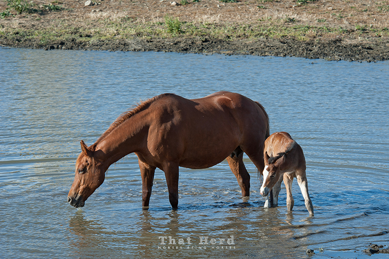 wild horse photography of a mare and new foal wading in a pond