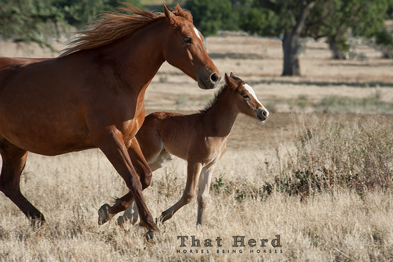 wild horse photography of a mare and new foal running