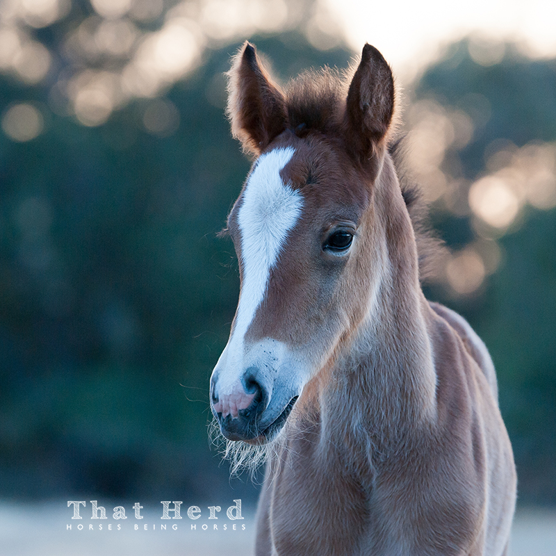 wild horse photography of a new foal with an unusual cowlick