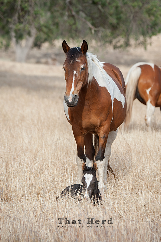 wild horse photography of an old mare protecting another mare's newborn foal