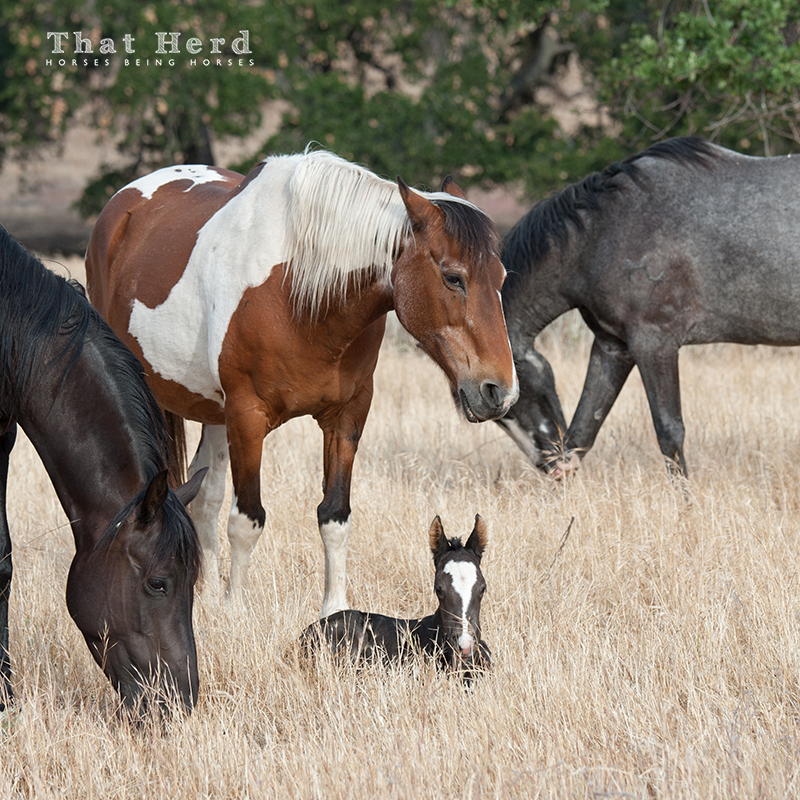 wild horse photography of an old mare stealing a newborn foal