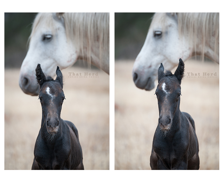 wild horse photography of a newborn colt moving his eats