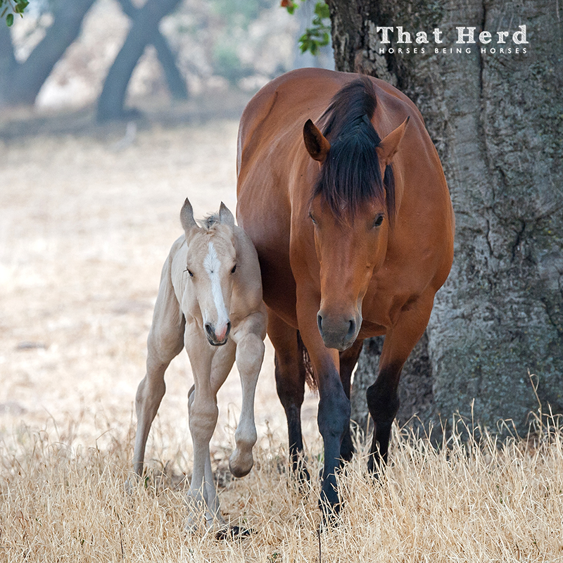 wild horse photography of a newborn leaning into his mother for confidence