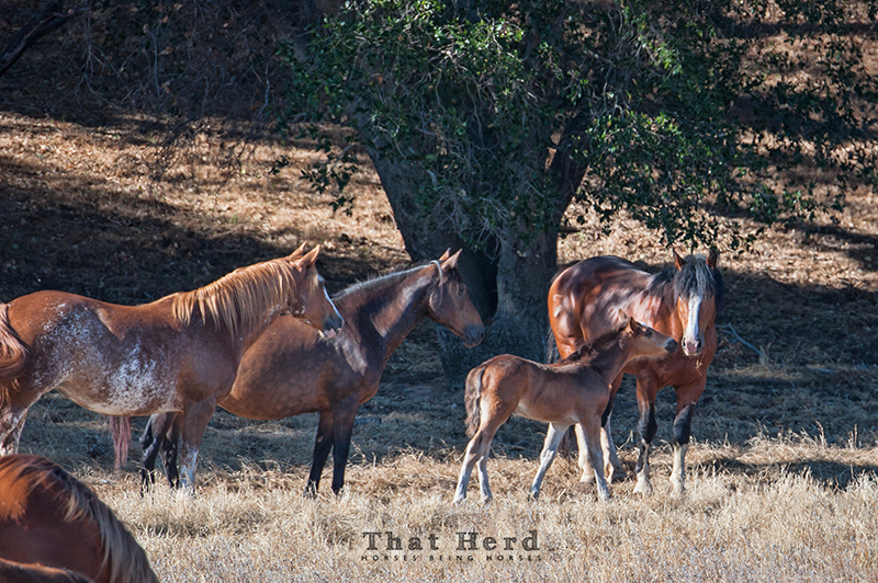 wild horse photography of a foal greeting the herd stallion