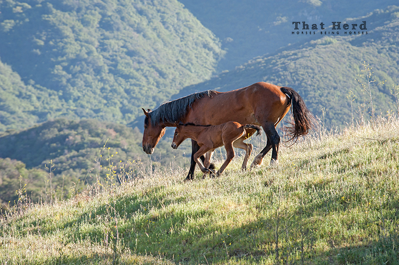 wild horse photography of a mare and foal moving through an expansive landscape