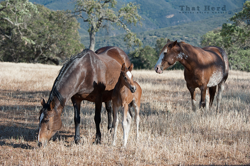 wild horse photography of a young mare that follows a certain old mare and her foal
