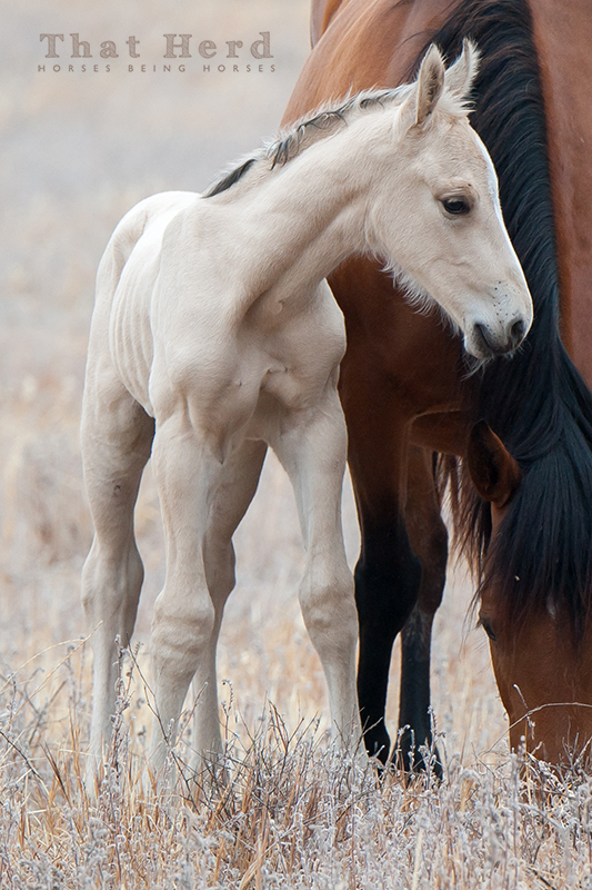 wild horse photography of a very large newborn colt of a interesting color