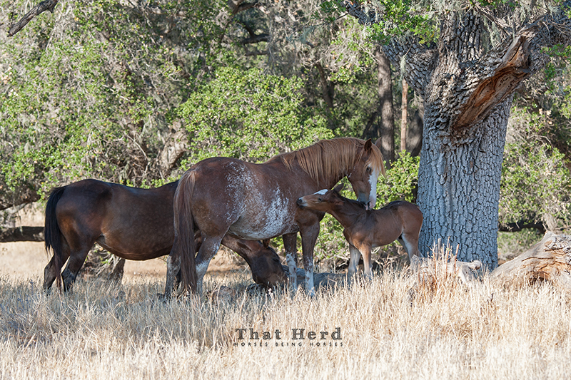 wild horse photography of an young mare bonding with another mare's foal