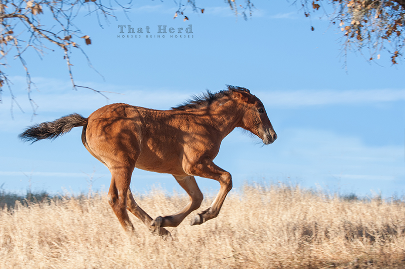 wild horse photography of a foal running along a hilltop
