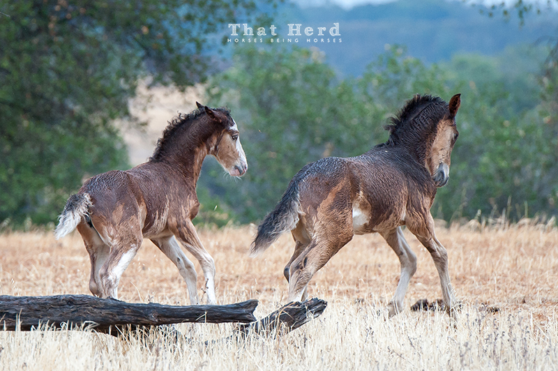 wild horse photography of two foals romping in the rain
