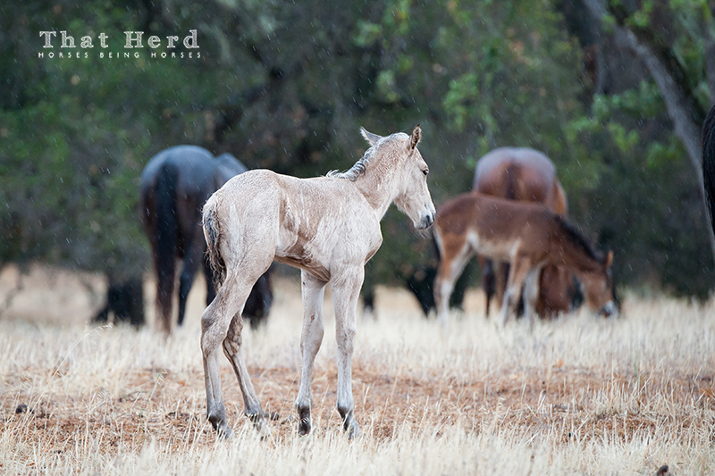 wild horse photography of a new foal in the rain