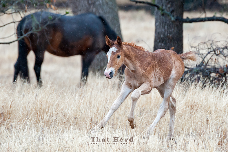 wild horse photography of a colt frolicking in the rain