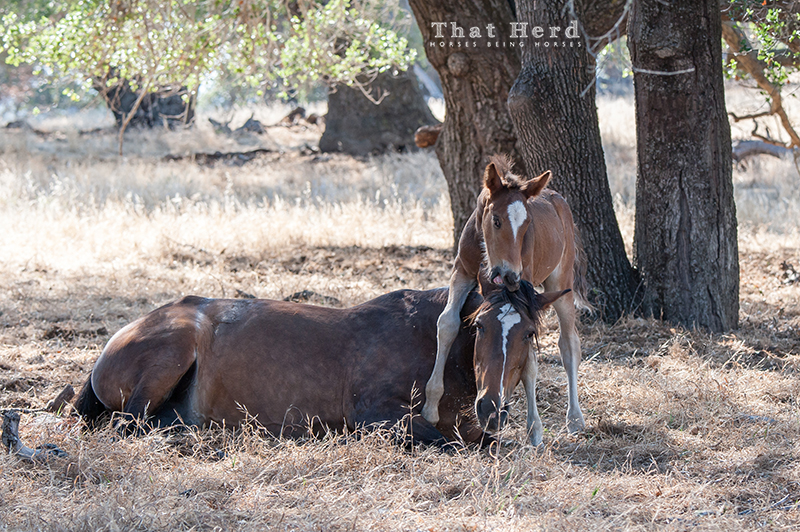 wild horse photography of a colt annoying his mother