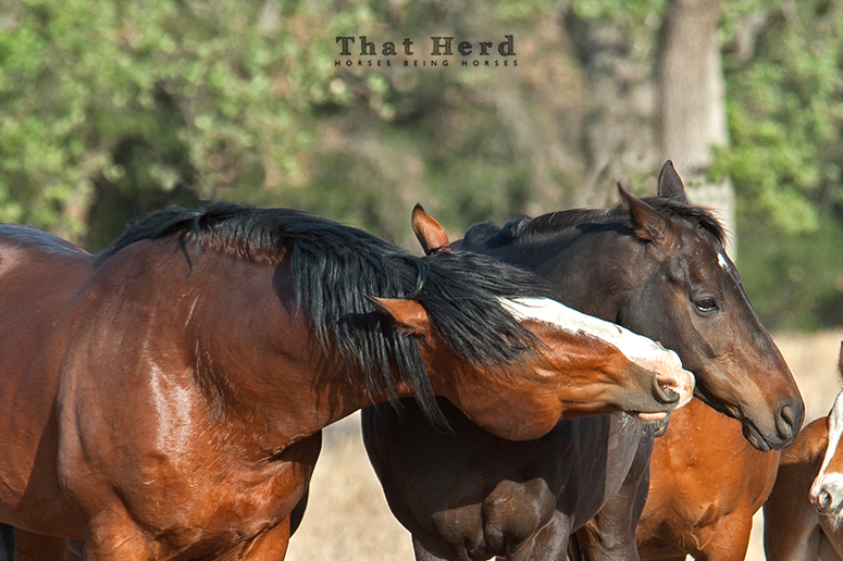 wild horse photography of a stallion coaxing a timid mare